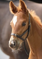 Blenheim Leather Foal Slip from Shires Equestrian